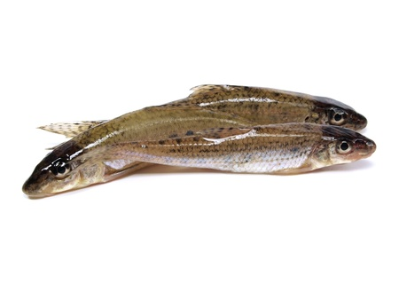 gudgeon (gobio gobio) on a white background   Stock Photo - 11171334