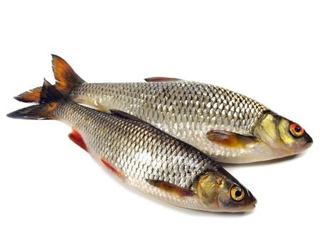 rutilus: chub (leuciscus cephalus) and roach (Rutilus rutilus)  on a white background   Stock Photo