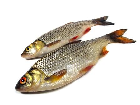 cypriniformes: chub (leuciscus cephalus) and roach (Rutilus rutilus)  on a white background   Stock Photo