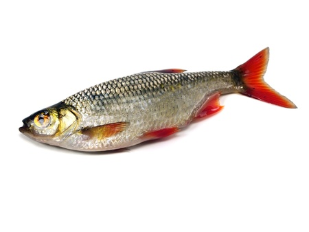 rudd (Scardinius erythrophthalmus) on a white background   Stock Photo