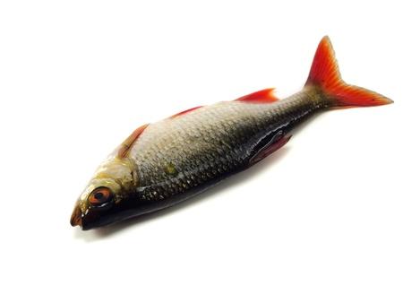 scardinius: rudd (Scardinius erythrophthalmus) on a white background   Stock Photo
