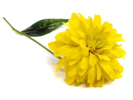 달리아: 흰색 배경에 달리아 꽃