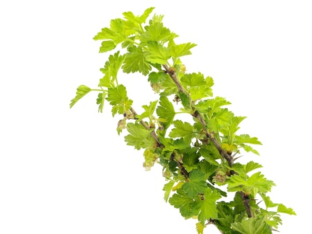gooseberry bush: Young flowering gooseberry branch
