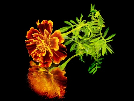 marigold flower on a black background with water drops  photo