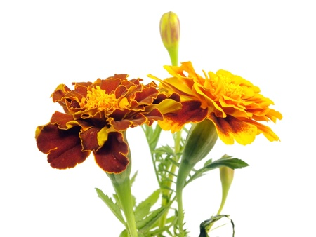 franch marigold flower on a white background     photo