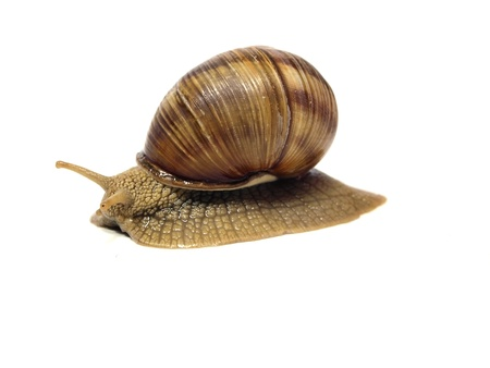 grape snail: Grape snail on a white background