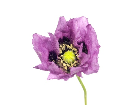 purple poppy flower on a white background Stock Photo - 11220498