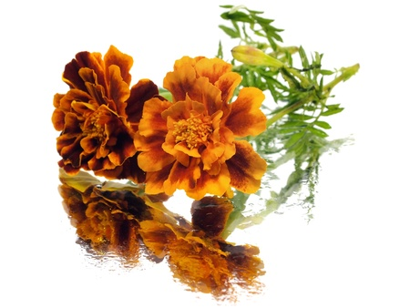 marigold flower on a white background with water drops   photo