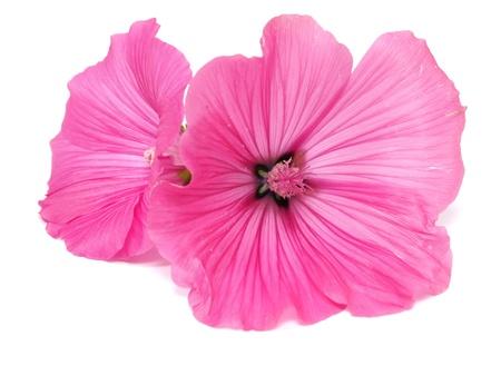 Pink malva silvestris flower on a white background photo