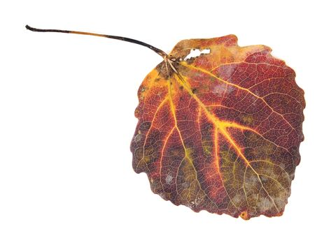 quaking aspen: colorful aspen leaf on a white background  Stock Photo