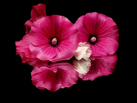malva silvestris flower on a black background with water drops   photo