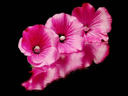 Pink malva silvestris flower on a black background with water drops  photo