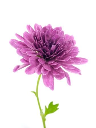 白い背景に菊の花
