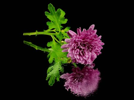 chrysanthemum flower on a black background with water drops       photo