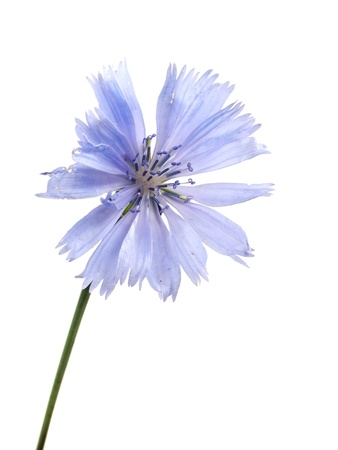 chicory coffee: Cichorium intybus flower on a white background    Stock Photo