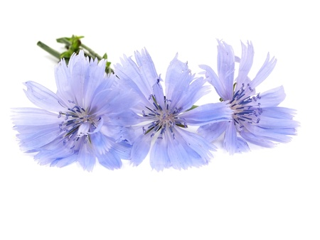 Cichorium intybus flower on a white background    Stock Photo