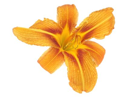 daylily flower with water drops on a white backhround photo