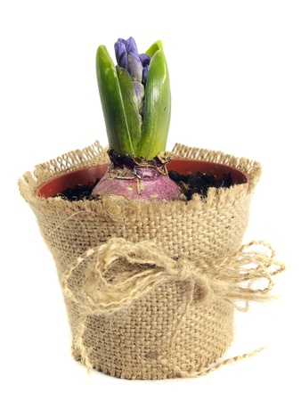 hyacinths bulb in flowerpot on white background Stock Photo - 12998635