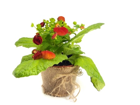 calceolaria: calceolaria flower on a white background.     Stock Photo