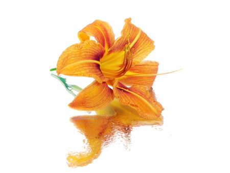 daylily flower on a white background with water drops   photo