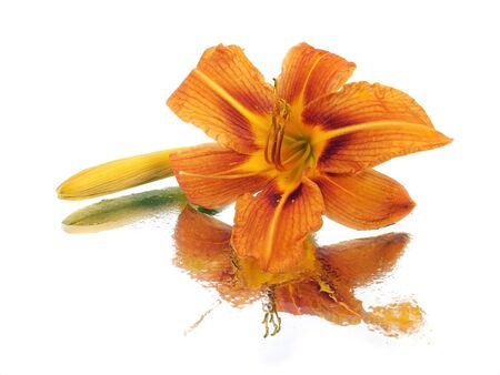daylily flower on a white background with water drops 