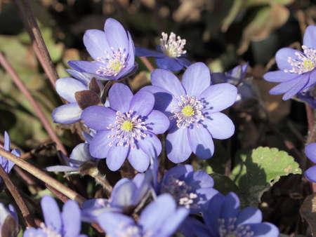 hepatica: Hepatica nobilis flowers in spring garden