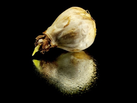 narcissus bulb on a black background with water drops   photo