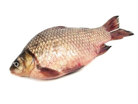 carassius - crucian carp on a white background        photo