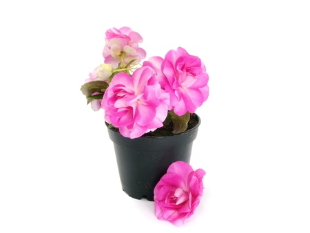 blooming impatiens flowers in pot on a white background  photo