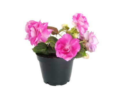 impatiens: blooming impatiens flowers in pot on a white background  Stock Photo