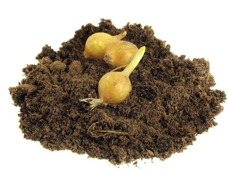 onion and soil on a white background  photo