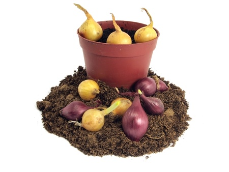 onion, pot and soil on a white background  photo
