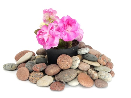 blooming impatiens flowers in pot and stones on a white background    photo
