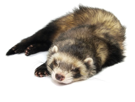sleeping ferret on a white background