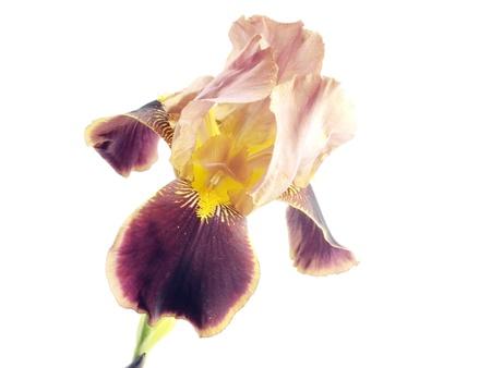 iris flower on a white background    photo