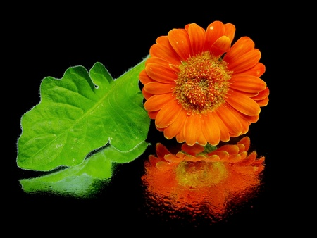 orange gerbera flower on a black background with water drops   photo