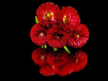 Bellis perennis - daisy flowers on a black background with water drops  photo