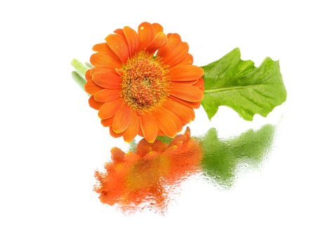 orange gerbera flower on a white background with water drops        photo