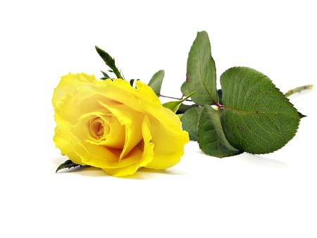 rosas amarillas: rosa amarilla sobre un fondo blanco