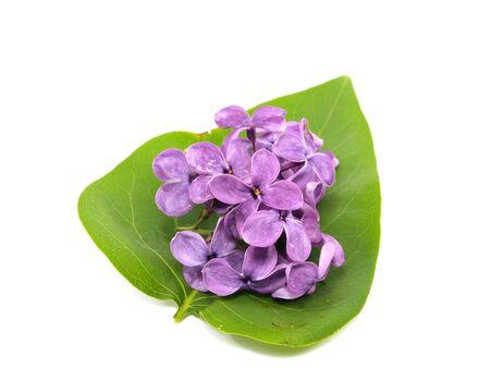 detail invitation: purple lilac flowers (Syringa vulgaris) on white background