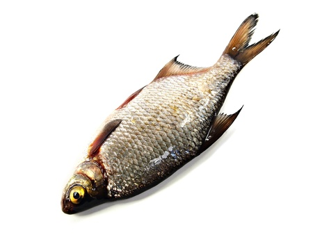 bream (abramis brama) on a white background Stock Photo - 15569323