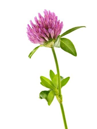 wild flowers: Klaver bloemen op een witte achtergrond