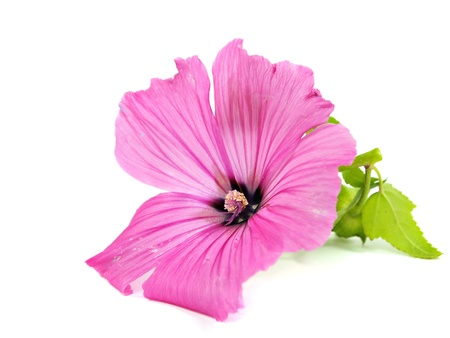 Pink malva silvestris flower on a white background         Stock Photo
