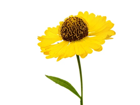 chalices: Beautiful yellow flowers (Helenium) on a white background        Stock Photo