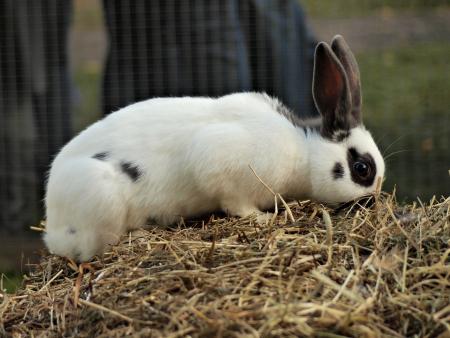 wit konijn: Leuk konijn op het hooi