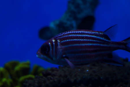 Beautiful striped fish with white lines on the body. Side view close up. Blue blurred background. Free space for text and content.