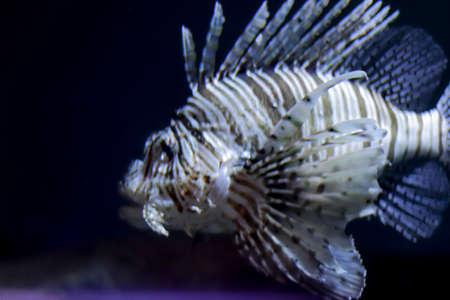 Huge scarry fish close-up. Exotic fish underwater with copy space.