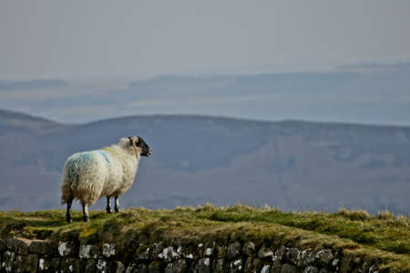 Sheep Standing On Hadrian s Wall Stock Photo - 14600072