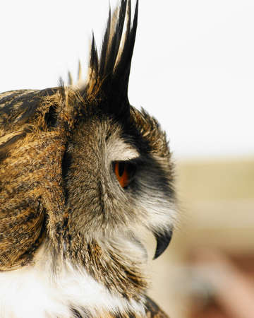Eagle Owl Profile   Bubo Bubo photo