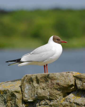larus ridibundus: Black-headed Gull    Larus ridibundus